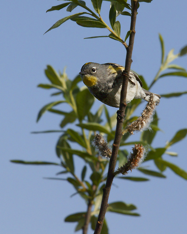 Warblers and American Gold Finch