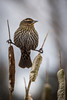 Female Red-Winged Blackbird.