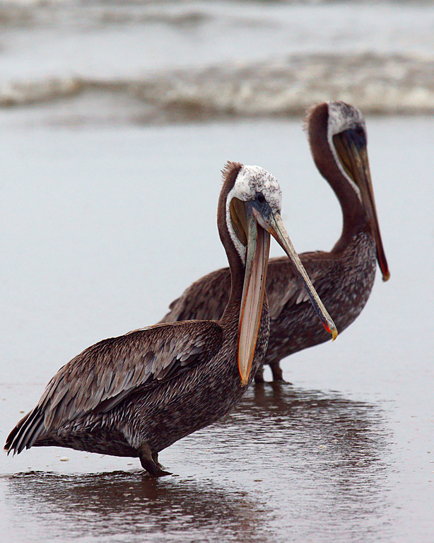 A few Pelicans from my vacation